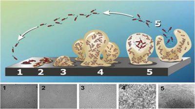 Legionella Life Cycle